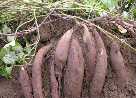 我院甘薯研究所选育的保健甘薯新品种南紫薯008被确定为省2013年主导品种