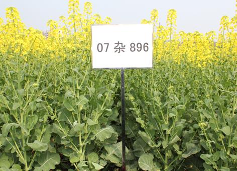 我院油菜研究所选育的油菜新品种西科油1号被确定为2013年四川省小春农作物主推品种