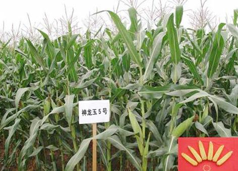 我院玉米研究所选育的高产玉米新品种神龙玉5号被确定为2013年四川省农业主导品种